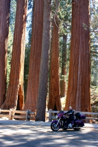 Smaller sequoias in Kings Canyon NP
