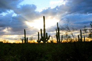 Saguaro cactii at sunset